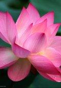 """Обложка книги """"Нежный цветок лотоса"""""""