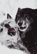 """Обложка книги """"Белая волчица"""""""