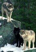 """Обложка книги """"Волчья традиция"""""""