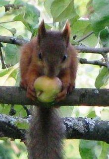 """Книга. """"Яблочные воры и Белка"""" читать онлайн"""