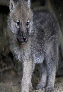 "Книга. ""Волчонок. Ночная прогулка."" читать онлайн"