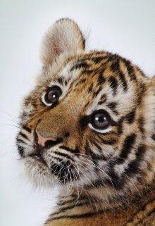 """Книга. """"Найден тигр или о пользе объявлений"""" читать онлайн"""