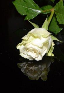 """Книга. """"Біла троянда короля"""" читать онлайн"""