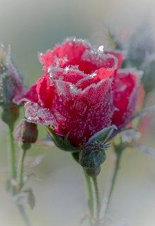 """Книга. """"нераспустившееся роза любви"""" читать онлайн"""