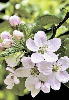 """Книга. """"Яблони в цвету"""" читать онлайн"""