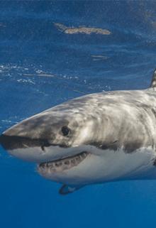 """Libro. """"El Ataque del Tiburon Blanco"""" Leer online"""